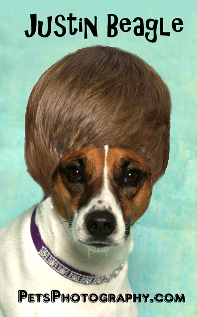 Beagle with Beiber Hairdo