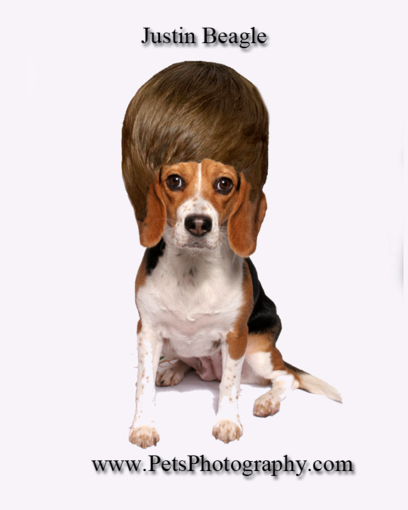Beagle with Beiber hairstyle