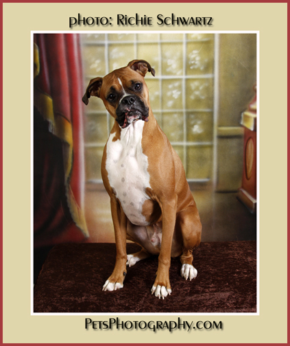 Buster Boxer Photographed by Pet Photographer Richie Schwartz